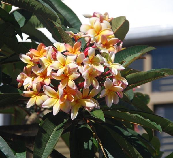 plumeria, frangipani in Portugal by HarrietH