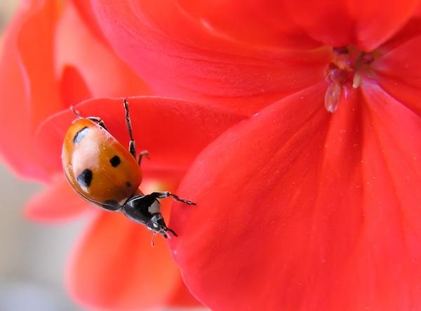 Ladybird on a Geranium by peterkin
