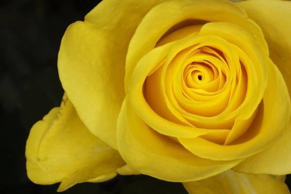 Yellow Rose by shuto
