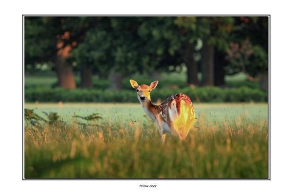 fallow deer by hotwings