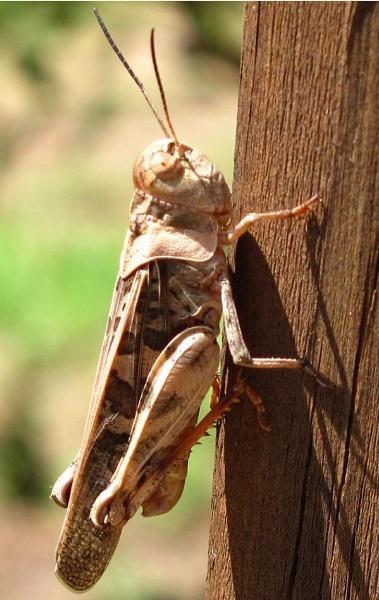 The Grasshopper by ChorjaLady