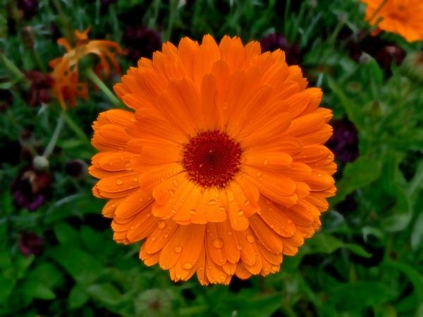 Orange Flower by stychy