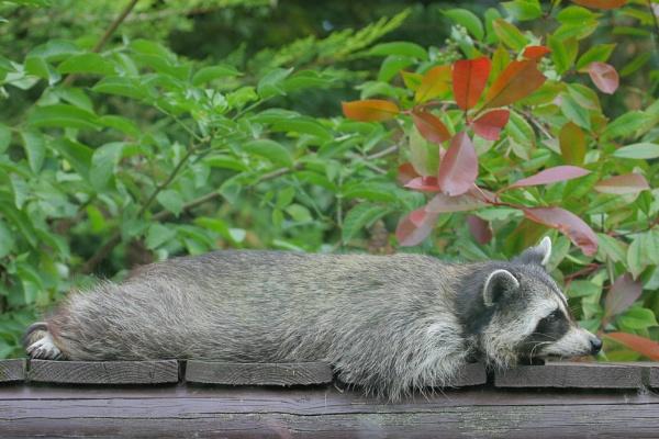 Raccoon by bleuchapel