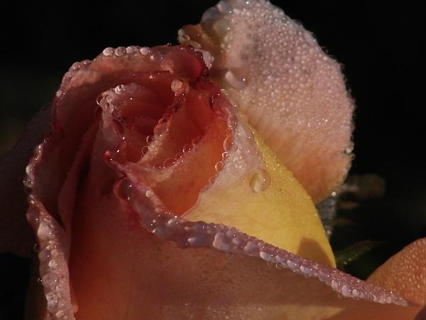 Tear of rose by kpramanik7