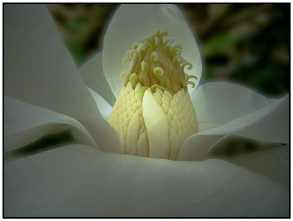 Magnolia grandiflora by nigele1
