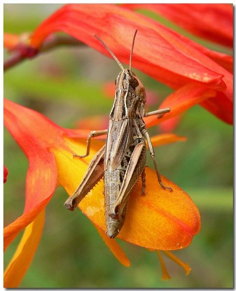 meadow grasshopper by bunbeam