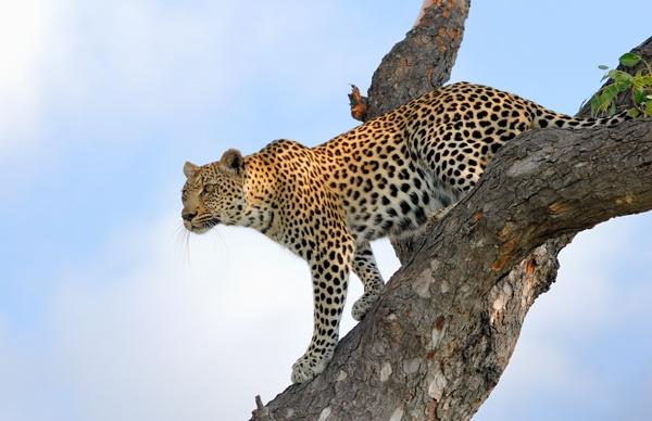 Leopardess Timbavati South Africa by Mandevo