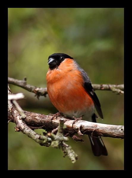 Bullfinch by fatmod