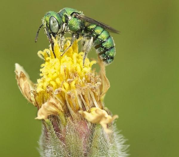 Green Hornet by jimpower4u
