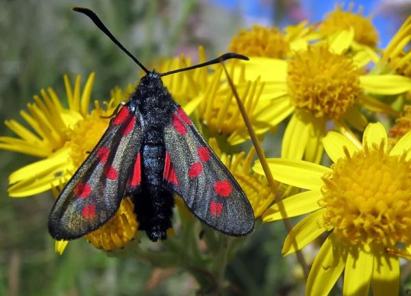 Burnet Moth by Declanworld