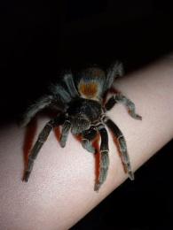 SweetPea the Tarantula x
