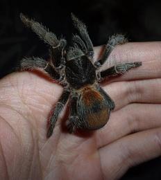 SweetPea the Tarantula 2 x