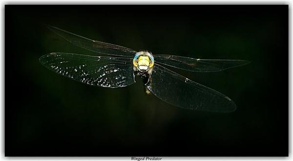 Winged Predator by Delbon