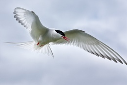 Arctic Tern - Contre Jour