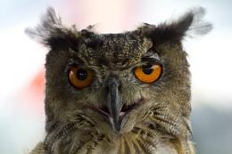 A Urasian Eagle Owl