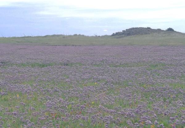 Sea Lavender by Hurstbourne