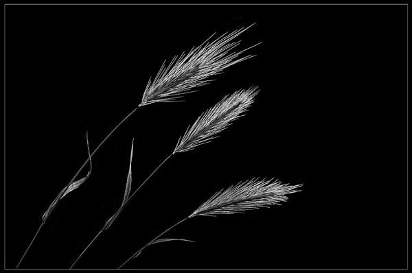 Three Seedheads by KatyJ
