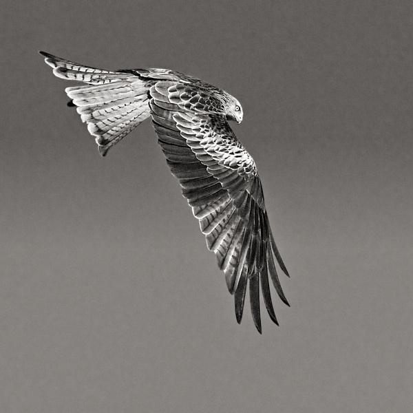 Red Kite in Flight by MrDennis