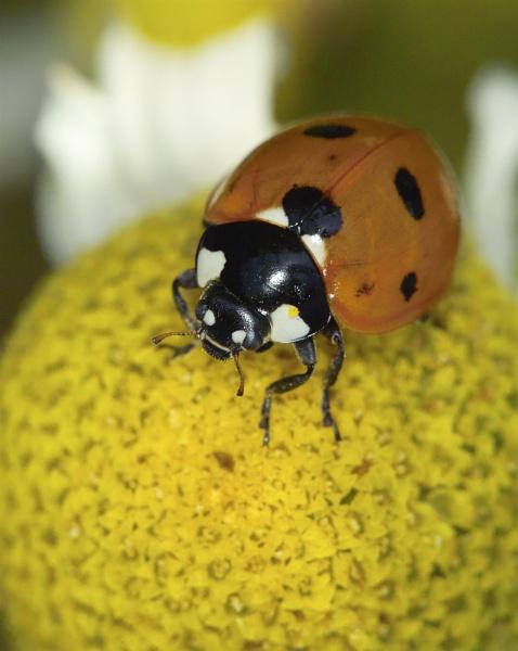 Ladybird by Gemma9