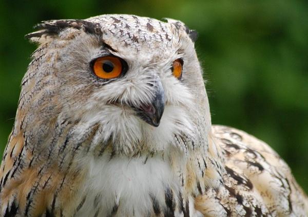 Arctic Owl by brownbear