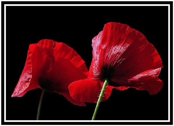 Poppies by JackieB
