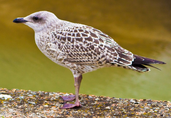 Baby Seagull by mrpjspencer