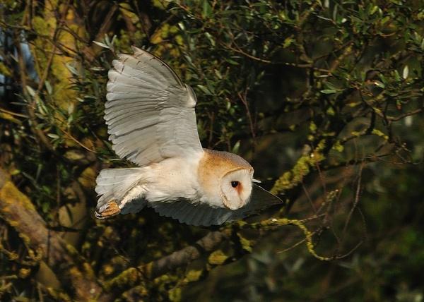 Barn Owl by nik50