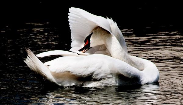 Preening Swan by Ian55