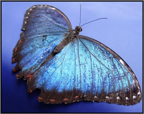Blue Morpho by Rach_s