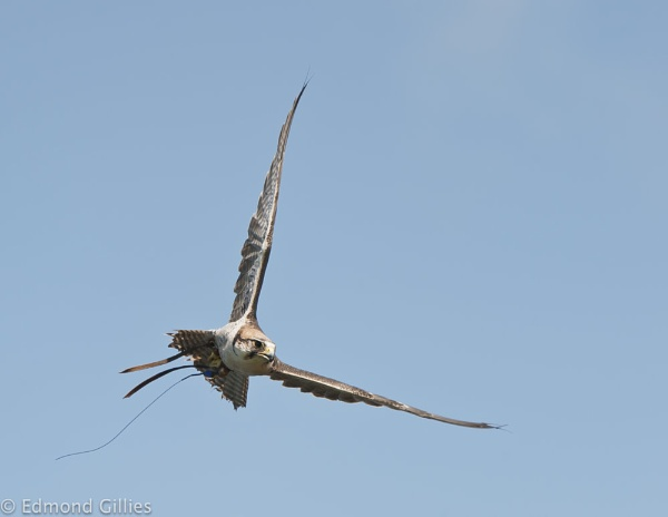 Red Kite by EddyG