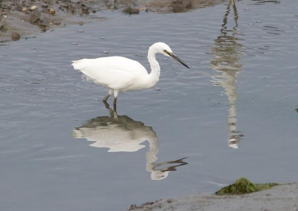 Snowy Egret by marktc