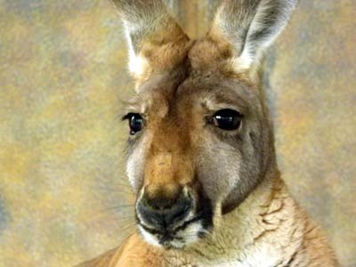 Kangaroo came over for his close up by Angie66