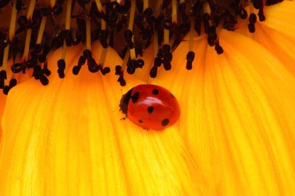 Sunflower Girl by redford50