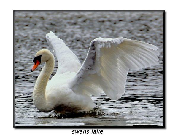 swan landing by hotwings