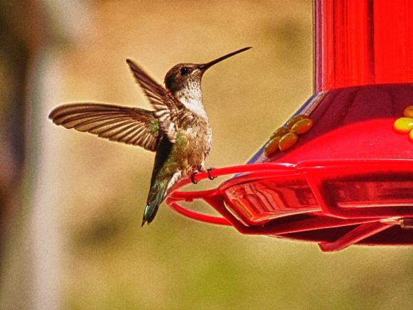 Humming Bird in Zion National Park, UT by Lucieneu