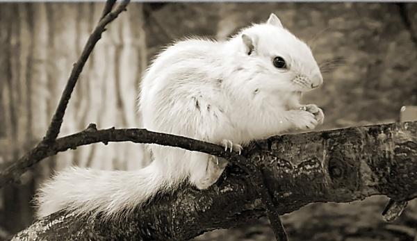 White Chipmunk by ciara25