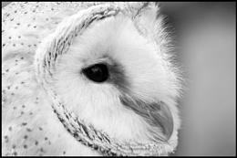 Barn Owl..