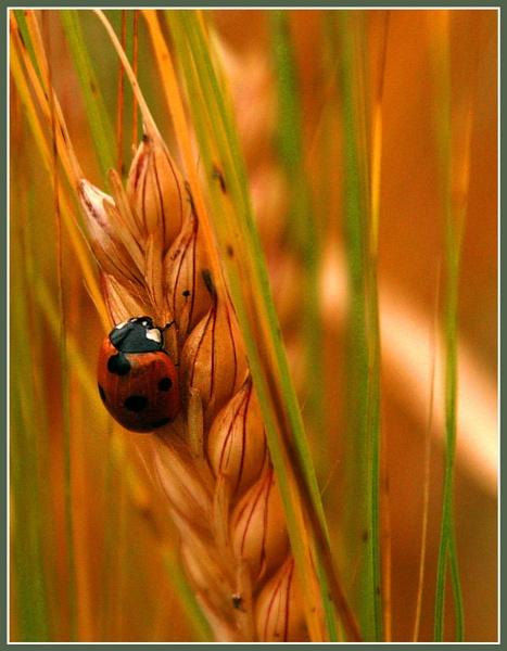 Ladybird in the barley by Heffo1