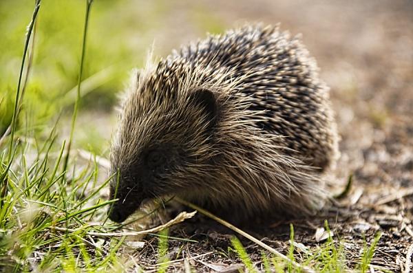 Hedgehog by royd63uk