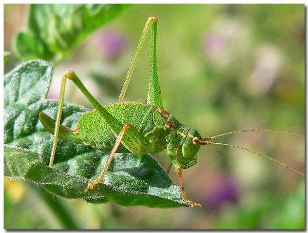 Mrs speckled bush cricket by bunbeam