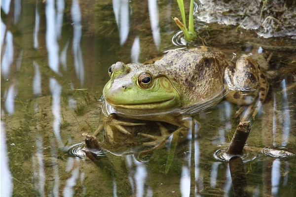 Grenouille by chieflong