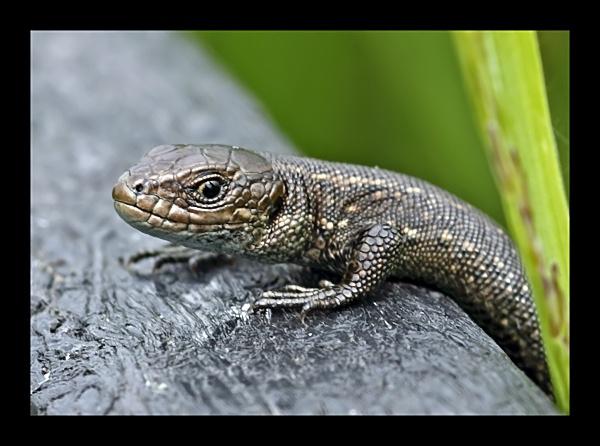 Common Lizard by fatmod