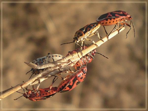 shield bug orgy! by CarolG