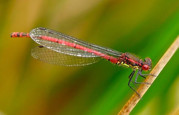 Large Red Damselfly II by Platchet