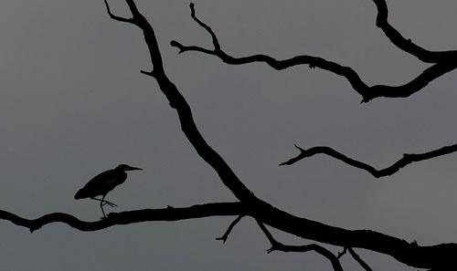Heron in a Tree! by avocet