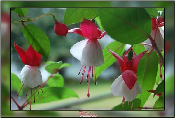 Fuchsia by stevebidmead