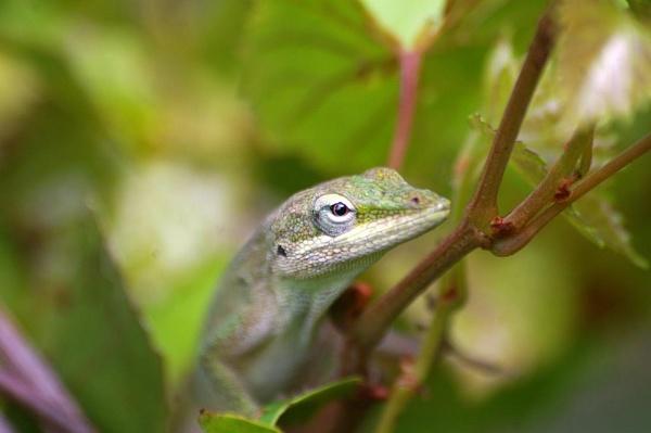 Shy lizard by wsteffey