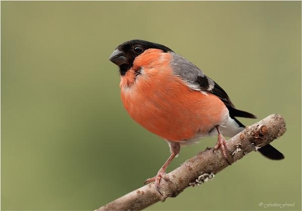 Male Bullfinch 2 by FeatherFriend