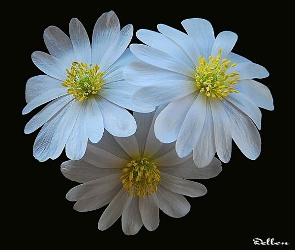 The Anemone by Delbon