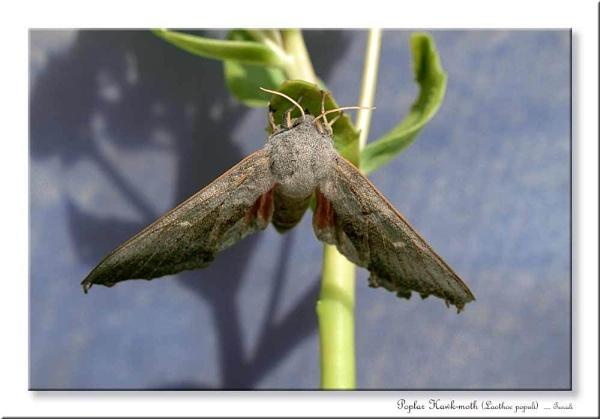 Poplar Hawk-moth (Laothoe populi ) 2 by teocali